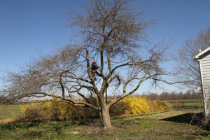Tree-pruning-Chesapeake-City-Maryland